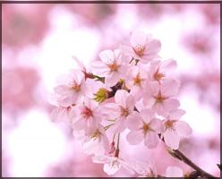 スタバ,桜