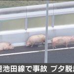 高速でブタ脱走!動画&画像が可愛い!大阪池田線の豚事件、なぜ起きた?負傷者は?